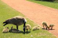 Goose and Chicks