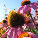 """Echinacea flowers"" by mswee10"