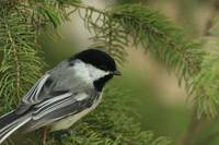 Chickadee in spruce tree