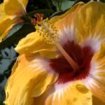"""Aloha-biscus"" by ashtonbancroft"