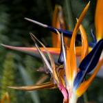"""Birds of Paradise"" by ashtonbancroft"