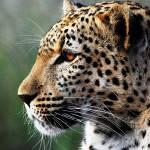 """Leopard"" by robinweeks"