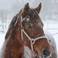 Horse In Snow Art Prints & Posters by Morris Brooking