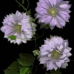 """""""Charming Multi - Petaled Clematis"""" by thirdeyeimage"""