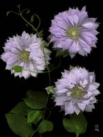 Charming Multi - Petaled Clematis