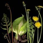 """Delightful Dandelions"" by thirdeyeimage"