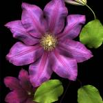 """""""Flaming Clematis"""" by thirdeyeimage"""