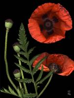 Glowing Red Poppy