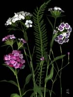 Sweet William Aglow