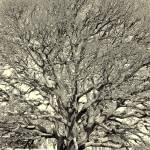 """Oak Study"" by BrianMadden"