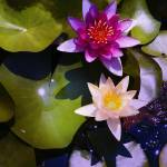 """""""Pink Water Lily 2"""" by katbesthorn"""