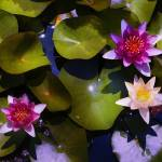 """Water Lily 3"" by katbesthorn"