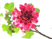 Red Flowering Currant - Looking up