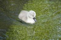 Baby swan in river