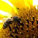 """honeybee2"" by jlv"