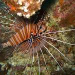 """Lionfish"" by Mac"