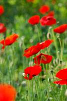 She loves blood-red poppies for a garden to walk i