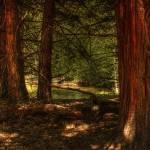 """""""Yosemite Trees"""" by earthlyimages"""