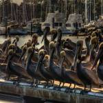 """Pelicans_tonemapped"" by earthlyimages"