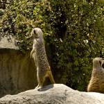 """Meercats"" by earthlyimages"