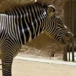 """""""Laughing Zebra"""" by earthlyimages"""