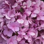 """""""Dark Pink Hydrangea"""" by valadorstudios"""