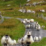 """Sheep on the Road in Scotland"" by RonGilmore"