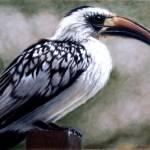 """Regal Hornbill"" by CarolMcCarty"