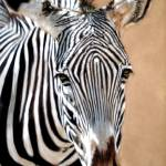 """Serengeti Zebra"" by CarolMcCarty"