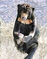Sun Bear Holding Foot