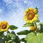 """""""Towering Sunflowers"""" by candidcaptures"""