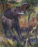 African Elephant Attacking a Native