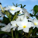 """White plumeria"" by rbb2676"