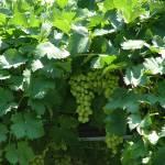 """""""green grapes"""" by rita77"""