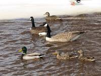 Geese and mallard ducks