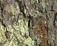 Bark, Lichen, and Pine Needle