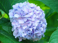 FLOWERS ARTWORK Blue Purple Hydrangea Botanical