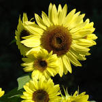 """OFFICE ART Sunflowers Yellow Sun Flowers Baslee"" by BasleeTroutman"