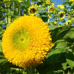 """OFFICE ART PRINTS SUNFLOWER YELLOW Baslee Troutman"" by BasleeTroutman"
