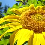 """OFFICE ARTWORK Sunflower Sunlit Sun Flower Baslee"" by BasleeTroutman"