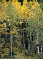 Aspens 8,-Rocky Mountain National Park, Colorado,-