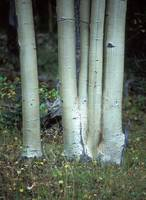Aspen Trunks 1, Colorado