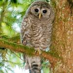 """Barred Owl"" by frankblau"