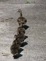 Following mama
