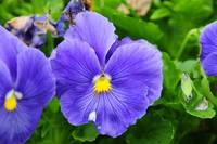 Pretty Purple Pansy