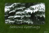 Snow-Covered Evergreen Branches - Seasons Greeting