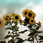 """Vintage Sunflowers"" by LisaClear"