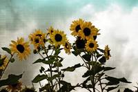 Vintage Sunflowers