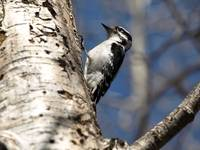 woodpecker on tree 4