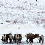 """bighorns"" by ben6berry"